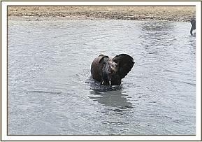 Galla aan het zwemmen